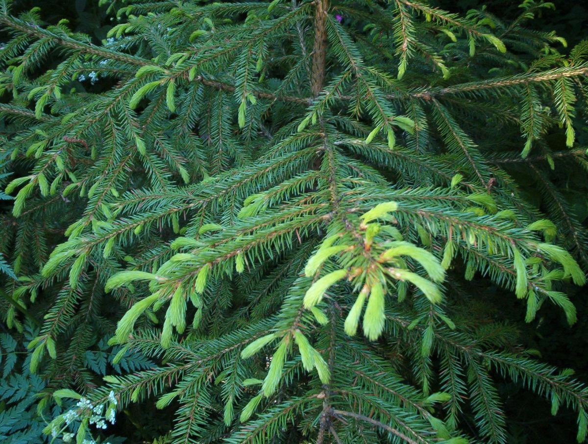 La Picea koraiensis es una conífera de Asia