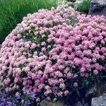 El Alyssum spinossum puede tener flores rosas