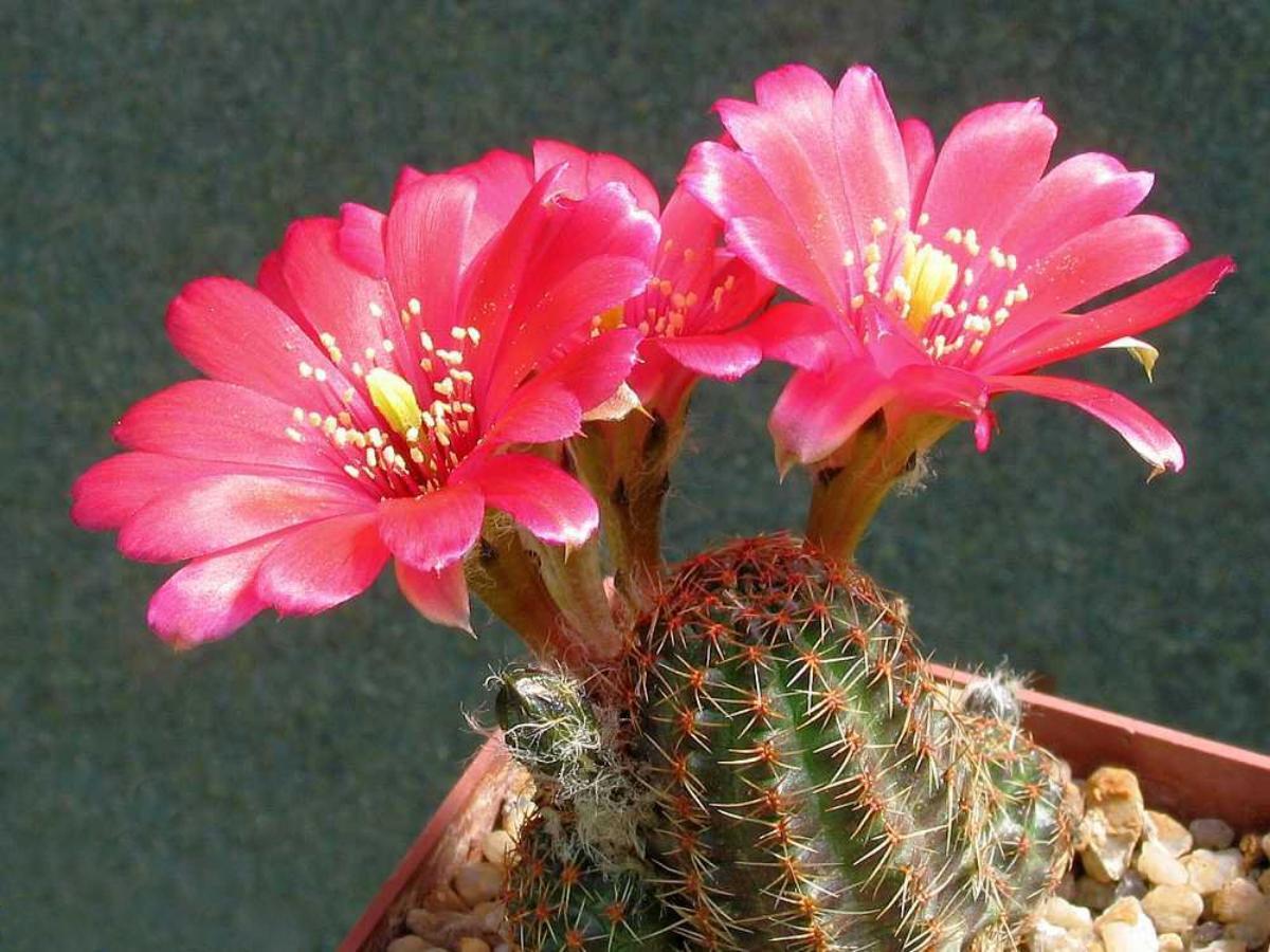 La Rebutia pygmaea var colorea tiene flores rojas y grandes