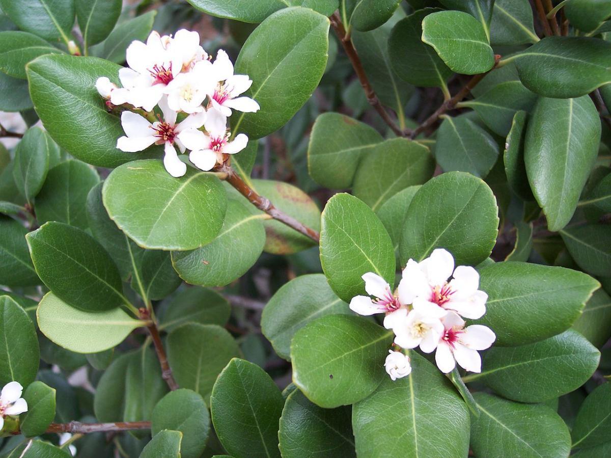 El raphiolepis es un arbusto resistente