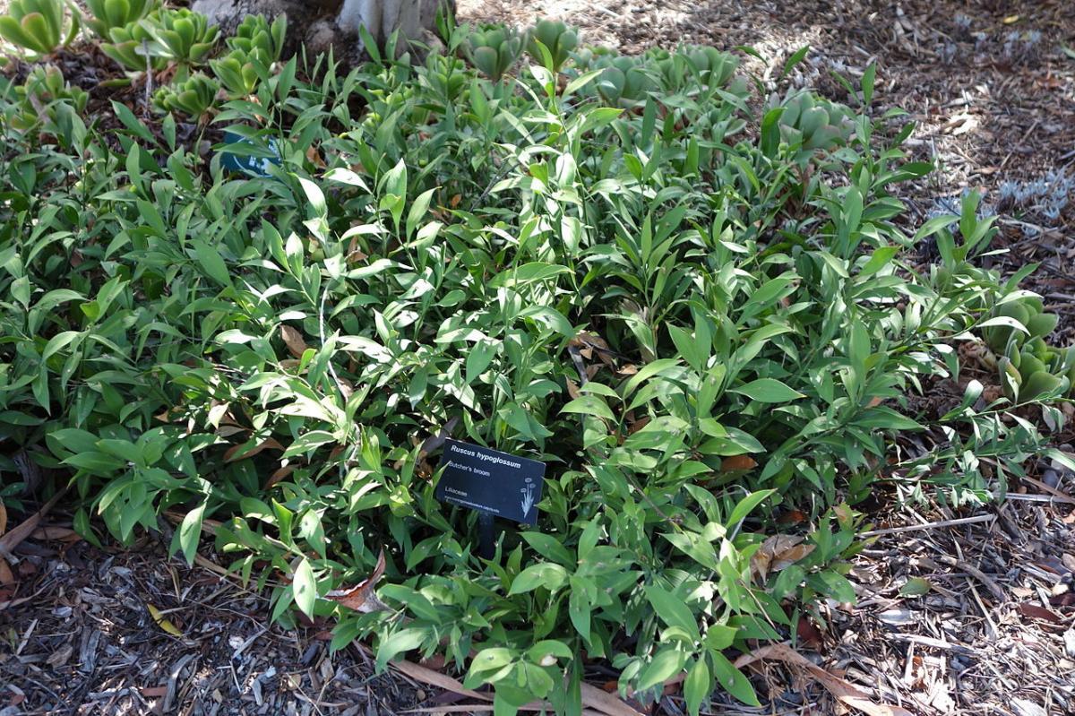 El Ruscus es un arbusto de lento crecimiento