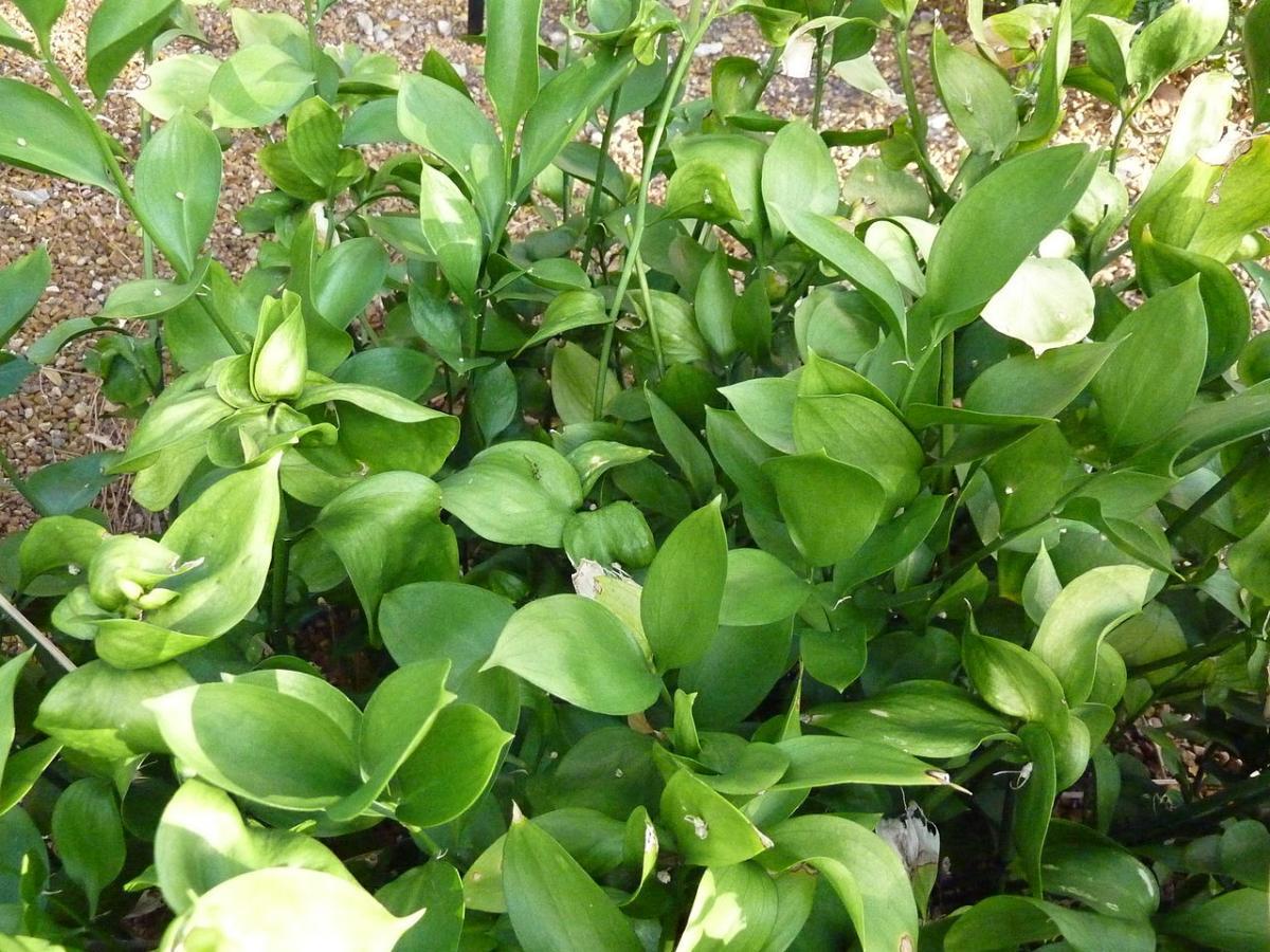 El Ruscus hypohyllum es un arbusto perenne