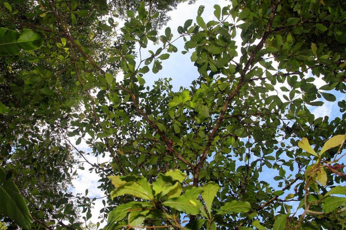 La Terminalia amazonia es un árbol muy grande