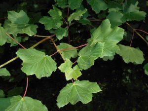 Hay muchos tipos de arces europeos, y el Acer opalus es uno de ellos
