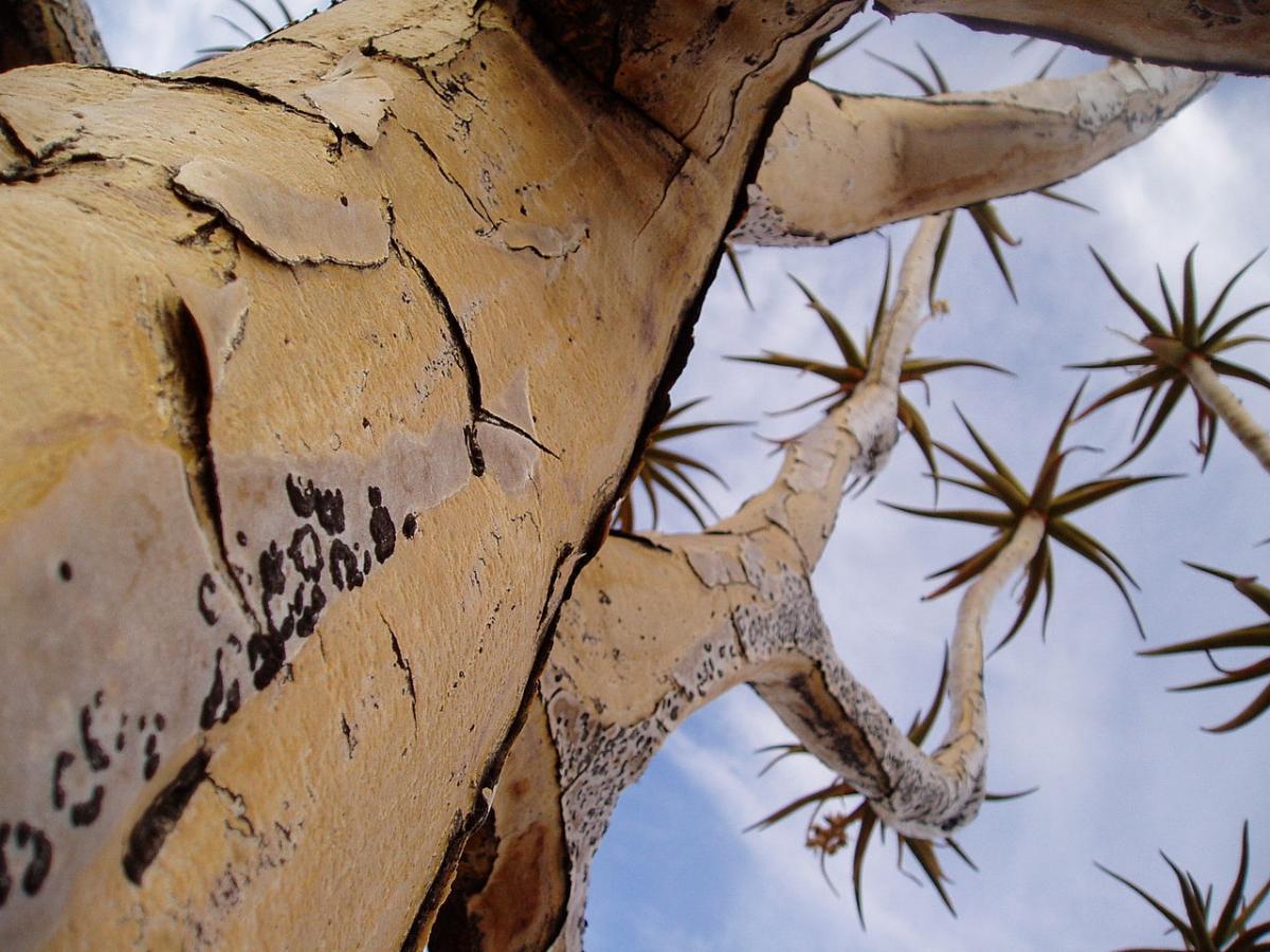 El tronco del Aloe dichotoma almacena agua
