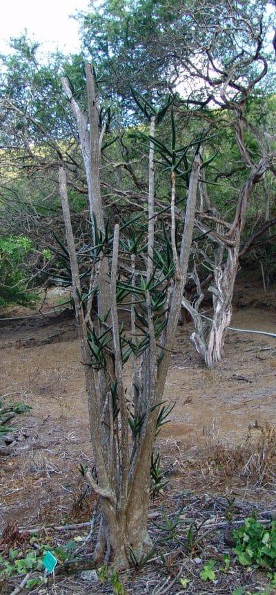 El Aloe eminens es un áloe arborescente