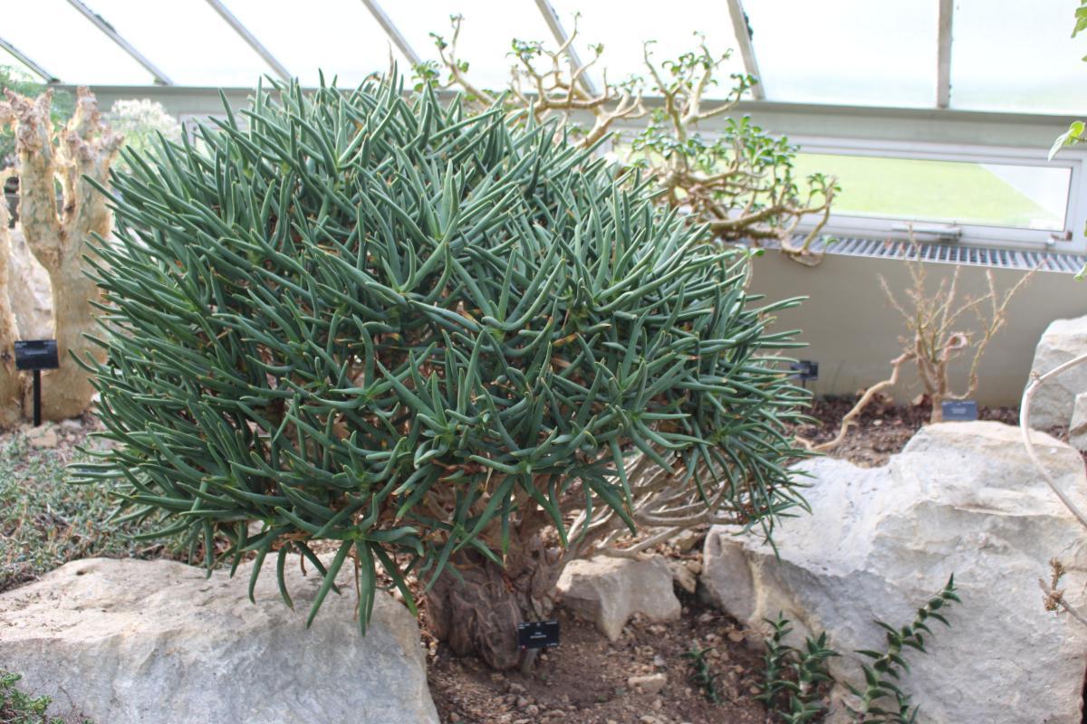 El Aloe ramossissima es una planta casi arbustiva