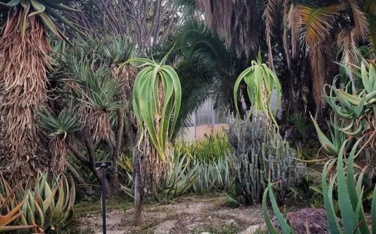 El Aloe sabaea es un tipo de áloe arborescente muy raro