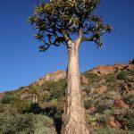 El Aloidendron dichotomum es una planta arbórea