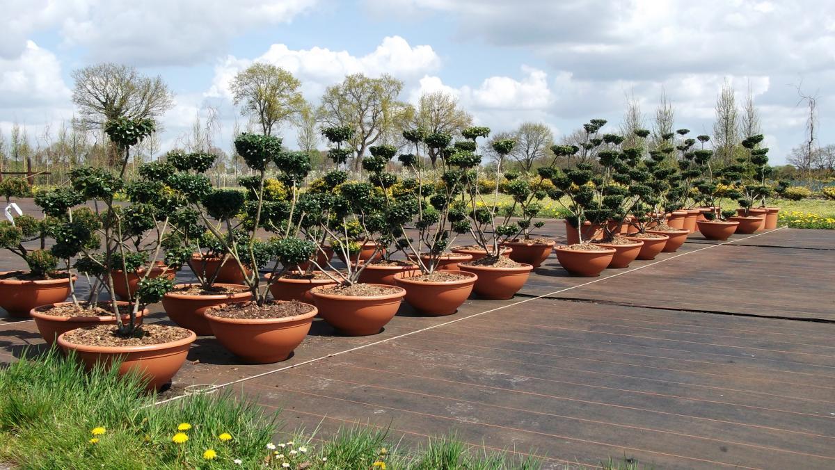 Si plantas el árbol en maceta, crecerá menos