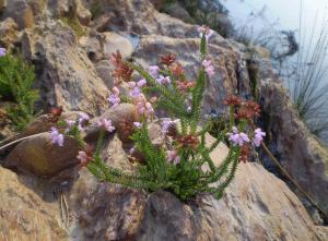 arbusto de la Erica andevalensis
