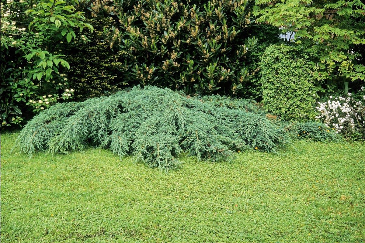 arbusto de la planta llamada Juniperus squamata