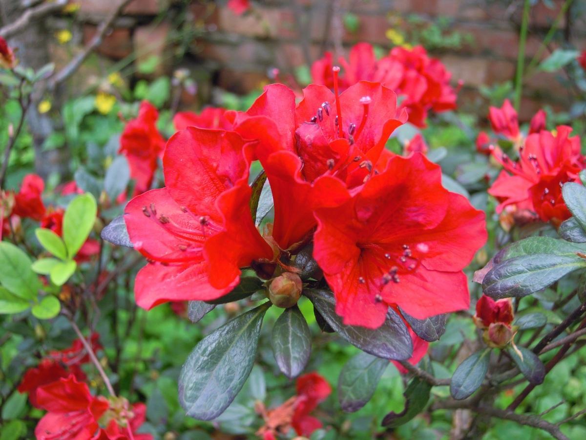 Las azaleas tienen flores de diversos colores