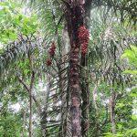 La bactris es una palmera que da frutos comestibles