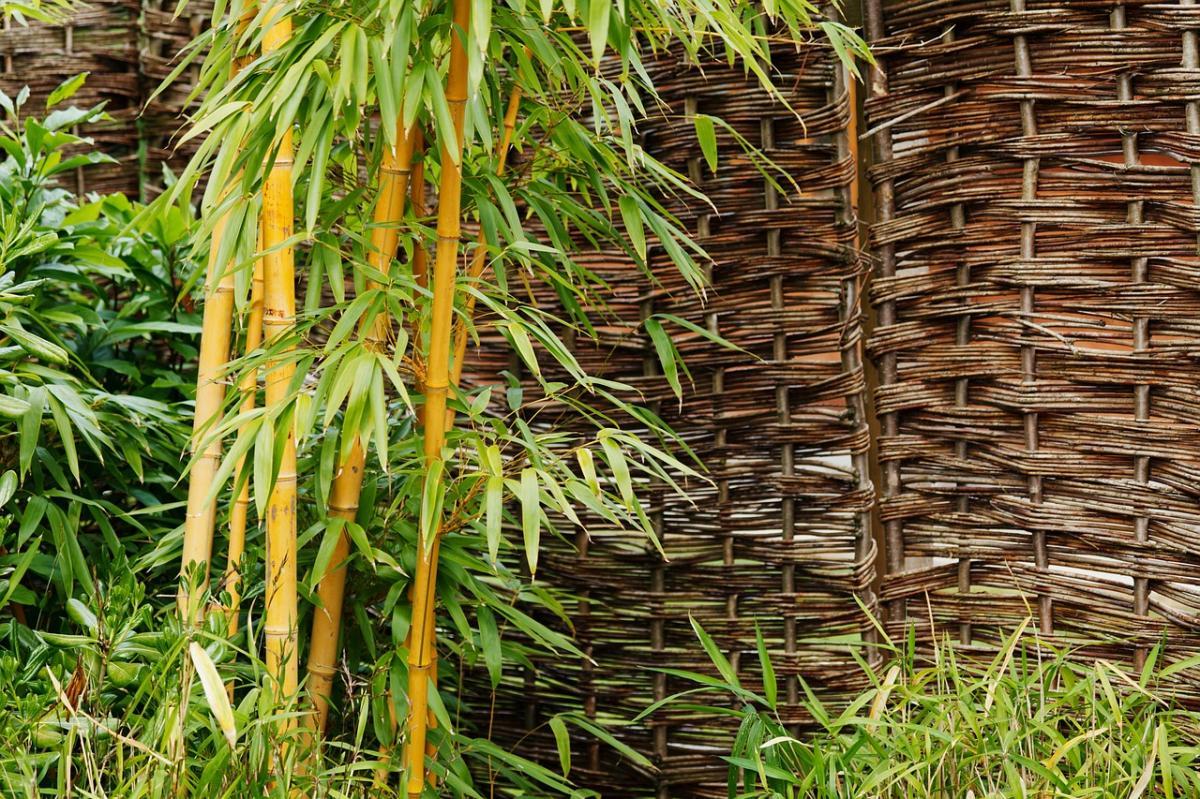 Hay muchos tipos de bambú que puede estar en macetas