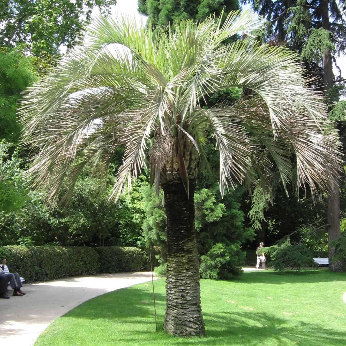 La Butia capitata es una palmera solitaria