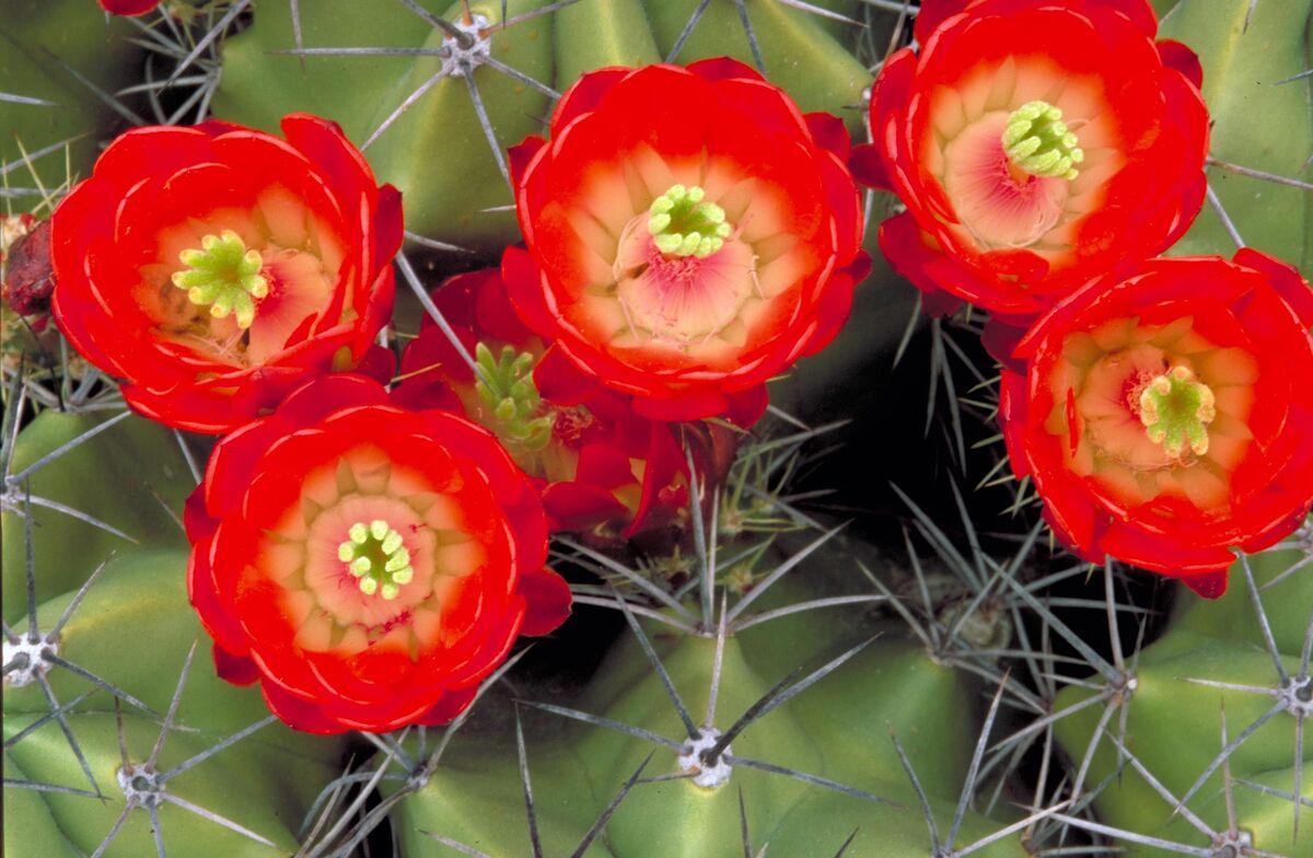 Los cactus de flores rojas son muy bonitos