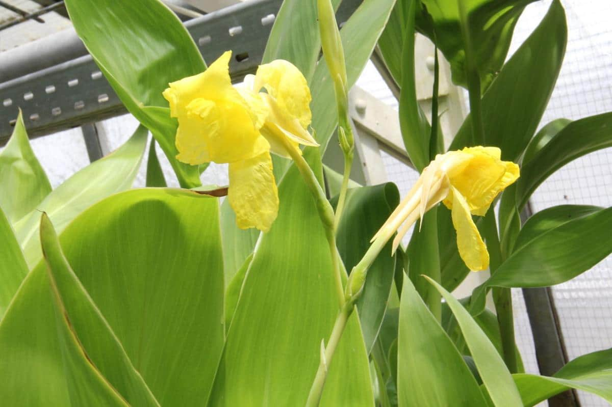 La Canna flaccida da flores amarillas