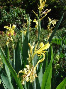 La Canna glauca es una planta de flores amarillas