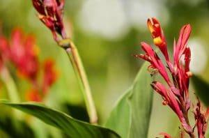 La canna es una planta herbácea preciosa