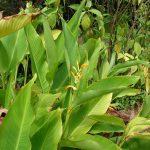La Canna jaegeriana tiene flores naranjas