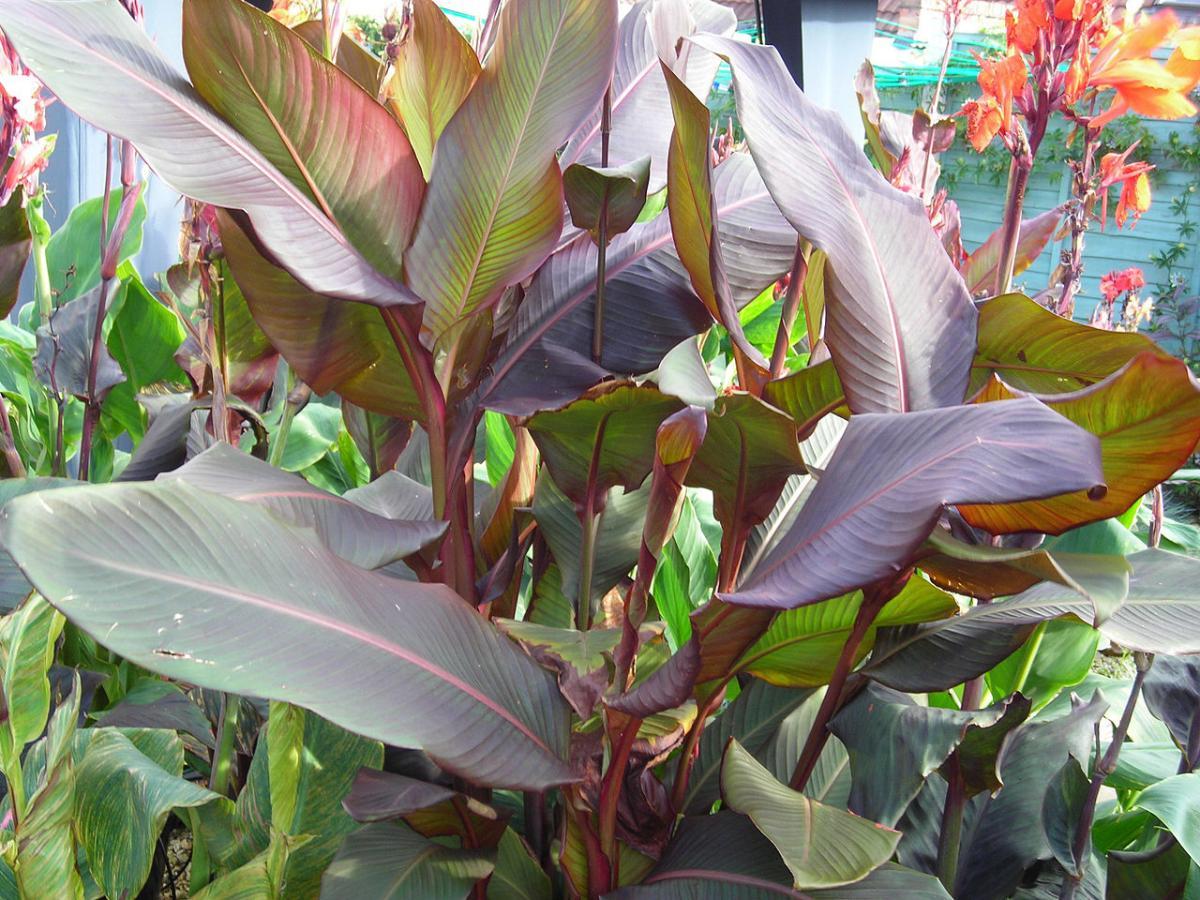 Vista de la Canna musifolia, una planta grande