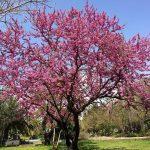 El árbol del amor da flores rosas
