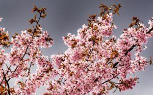 Los cerezos japoneses son protagonistas en Memorias de una geisha