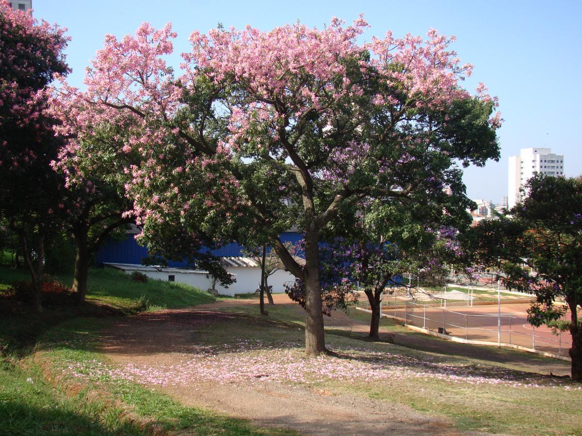 La chorisia speciosa es un árbol caducifolio de origen tropical
