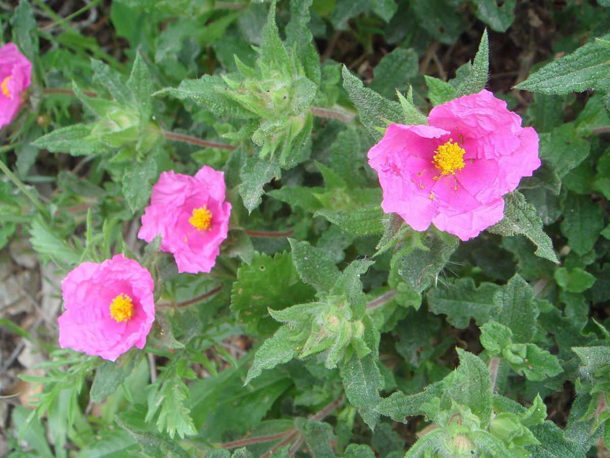 El cistus crispus da flores rosas