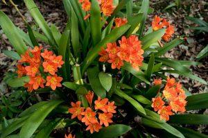 La clivia es una planta con hojas verdes y alargadas