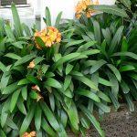 La clivia miniata es una planta con hojas alargadas