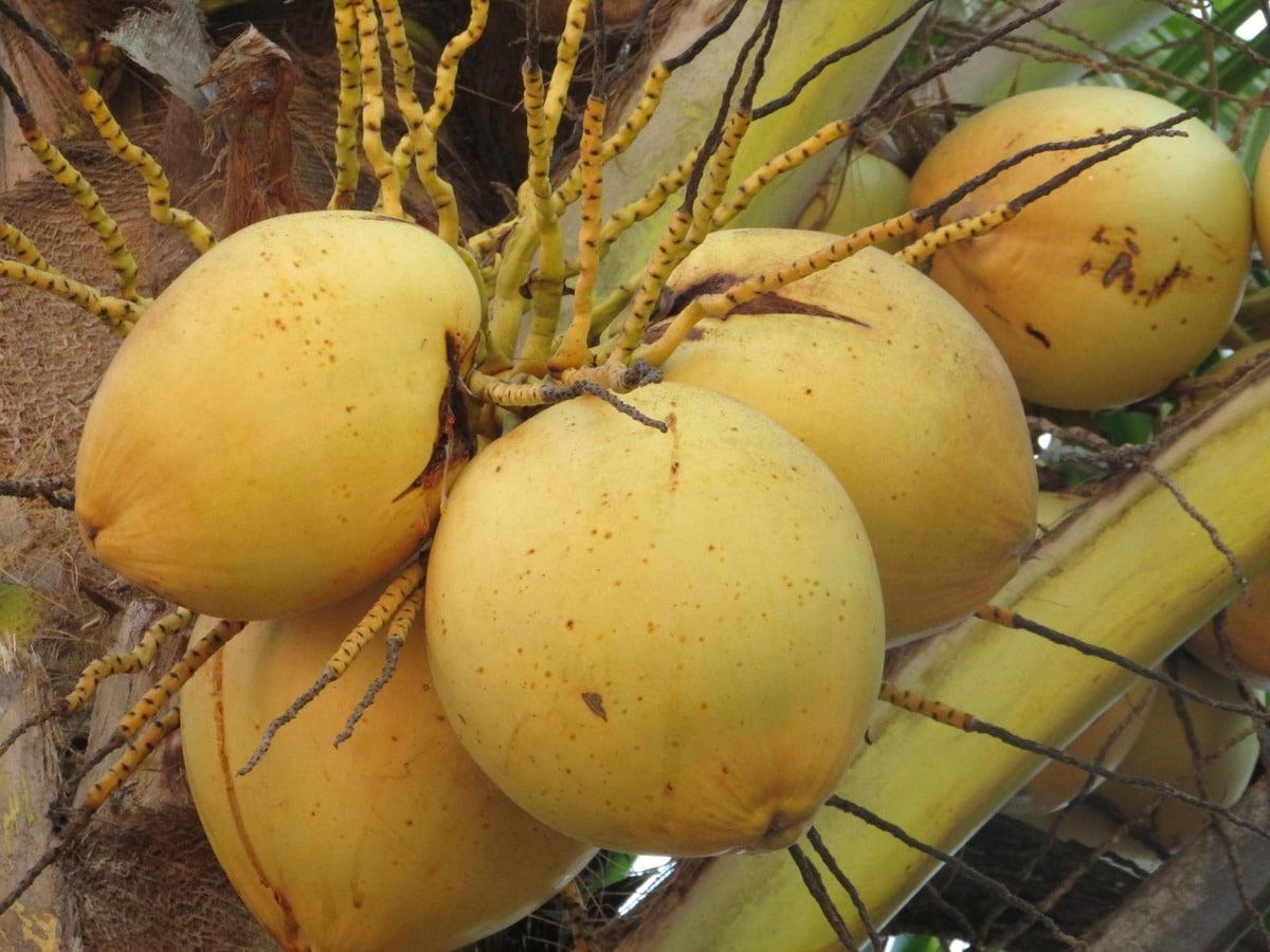 Hay varios tipos de cocos