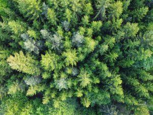Las coníferas son plantas gimnospermas
