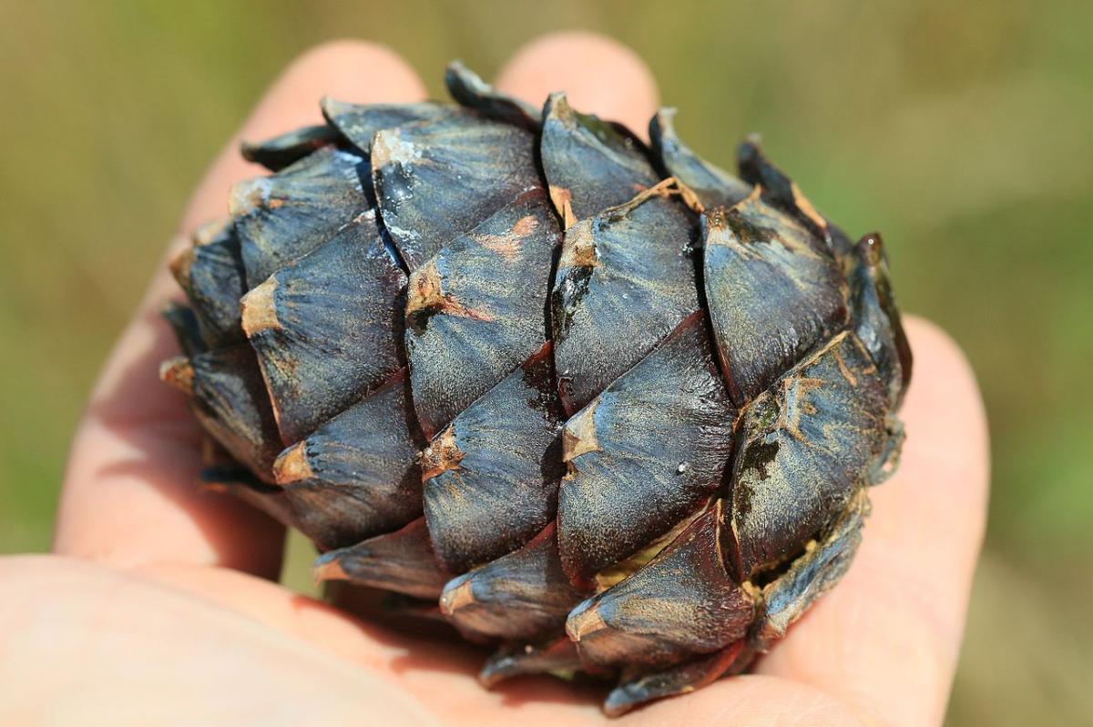 El cono del Pinus cembra no se abre al caer