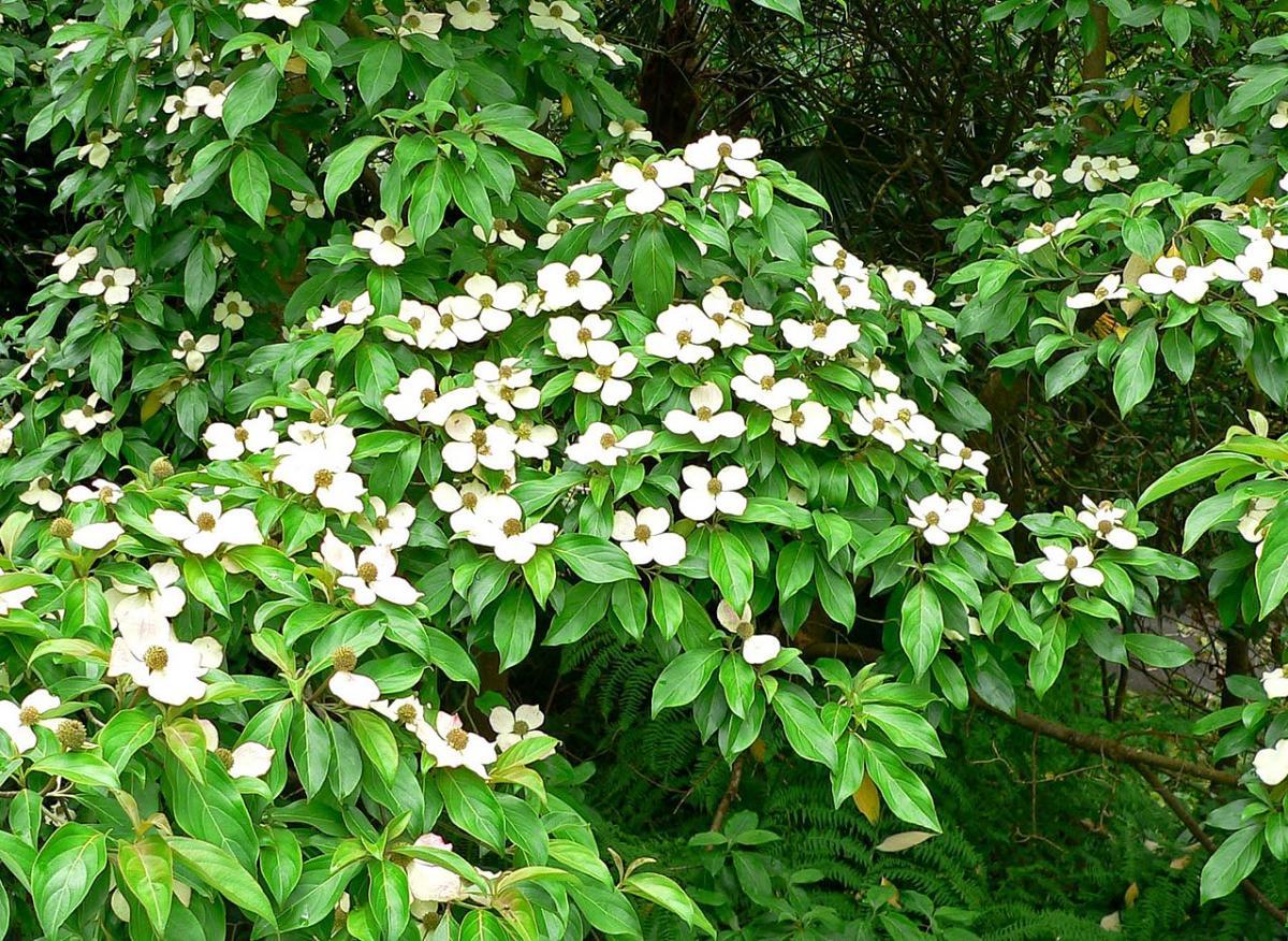 El cornus capitata da flores blancas