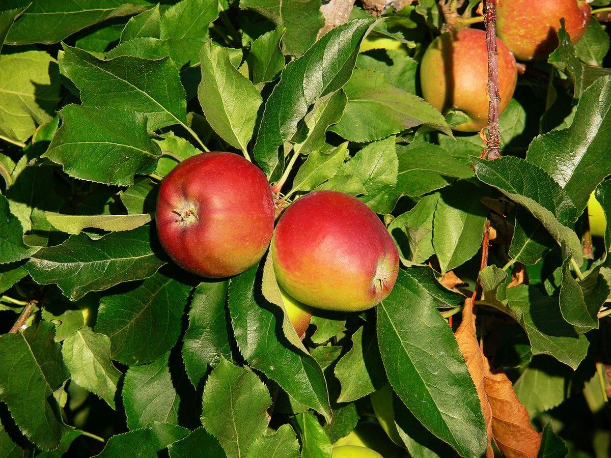 cultivo de manzana royal gala