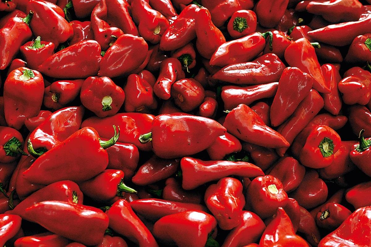 cultivo de pimiento