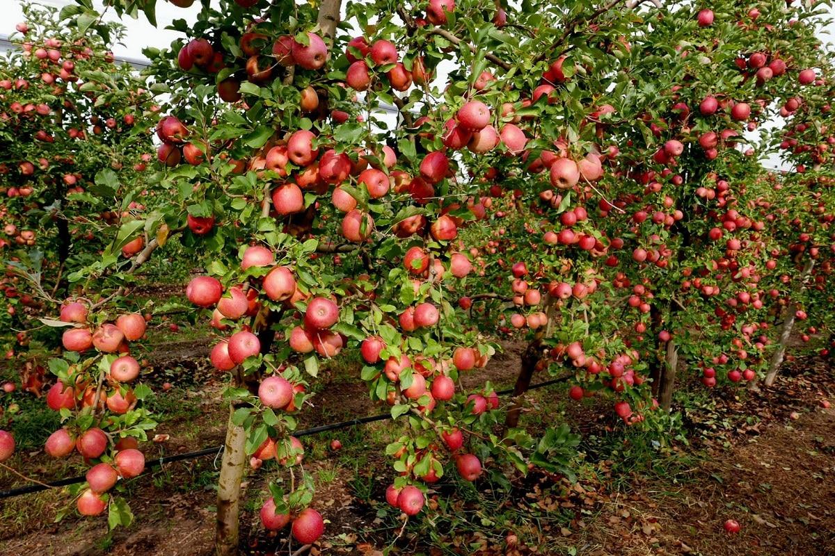 cultivo del manzano