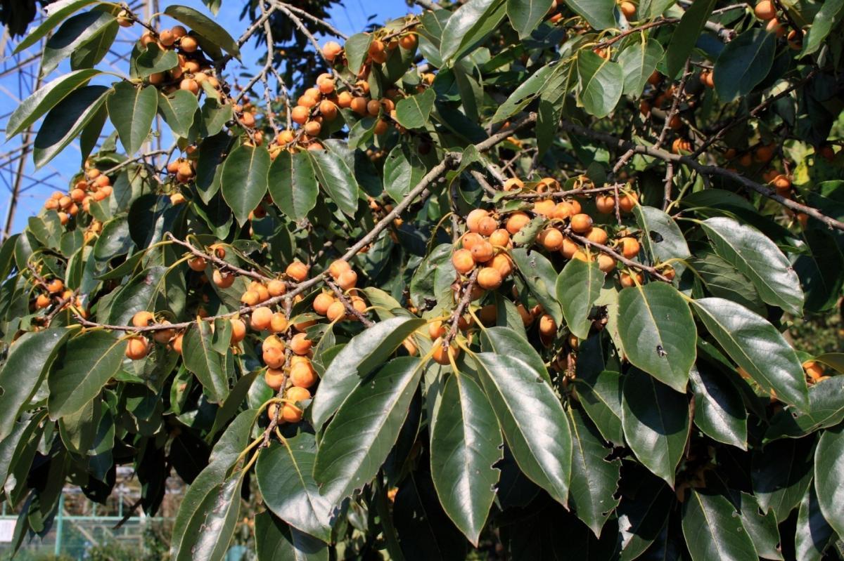 El Diospyros lotus es un árbol que da frutos comestibles