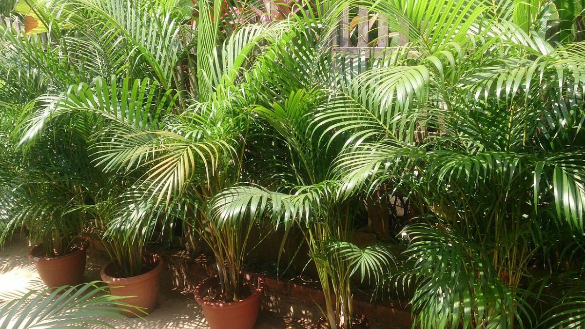 La Dypsis lutescens es una palmera de varios troncos