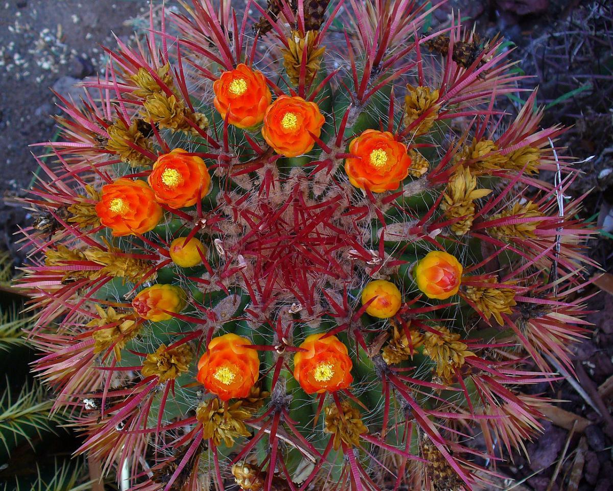 El Ferocactus gracilis es un cactus globular de flores rojas
