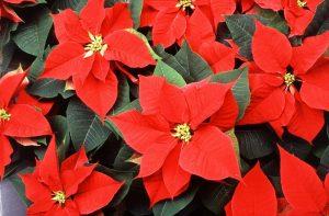 La flor de pascua es una planta típica de navidad