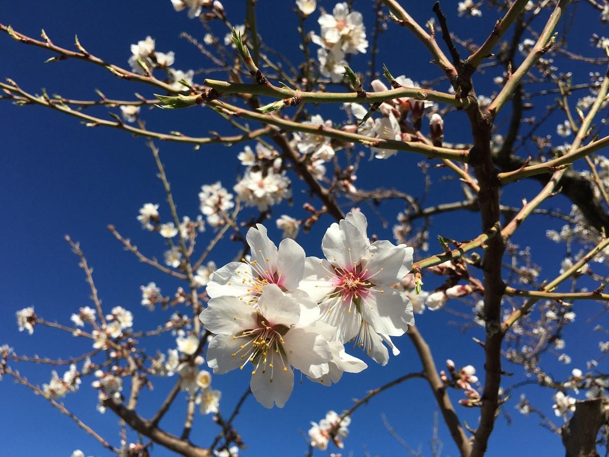 floracion de almendros