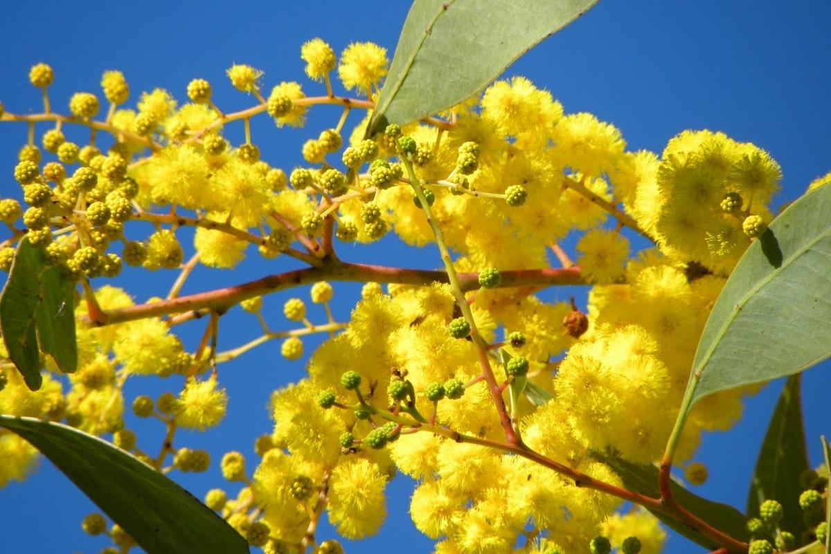 flores de la Acacia pycnantha