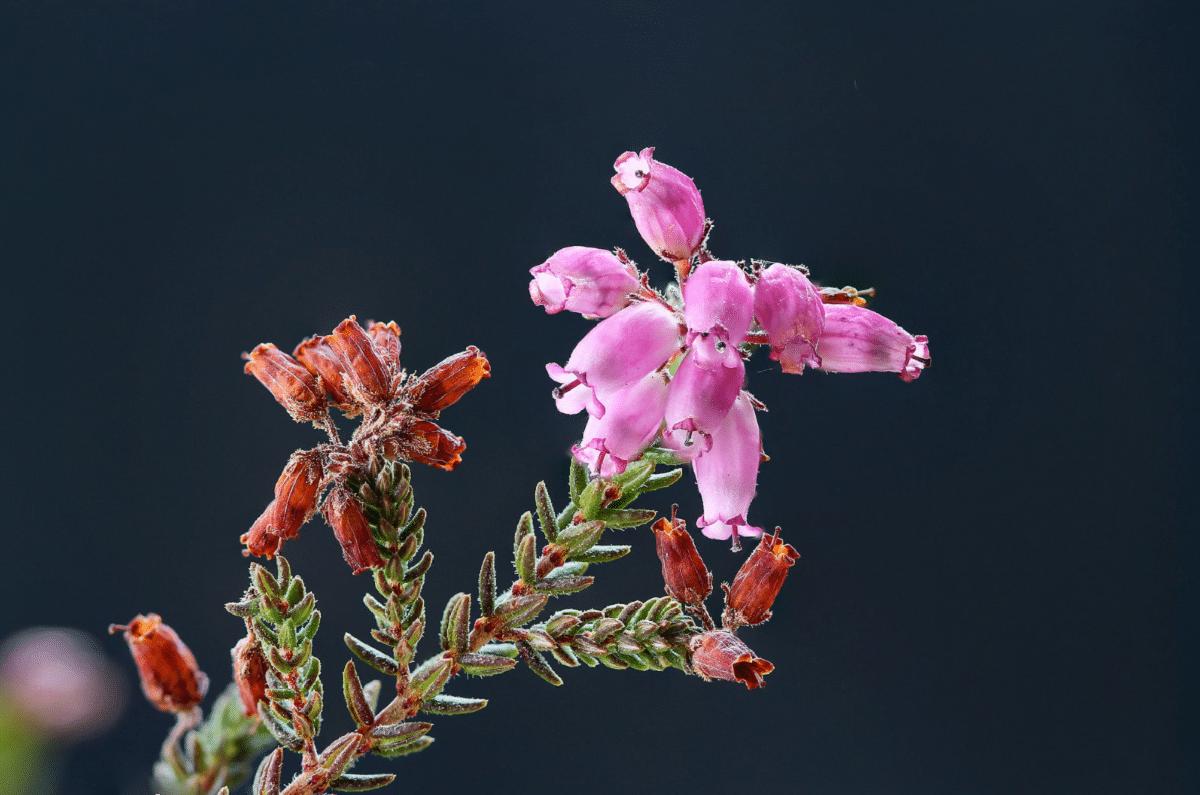 flores de la Erica andevalensis