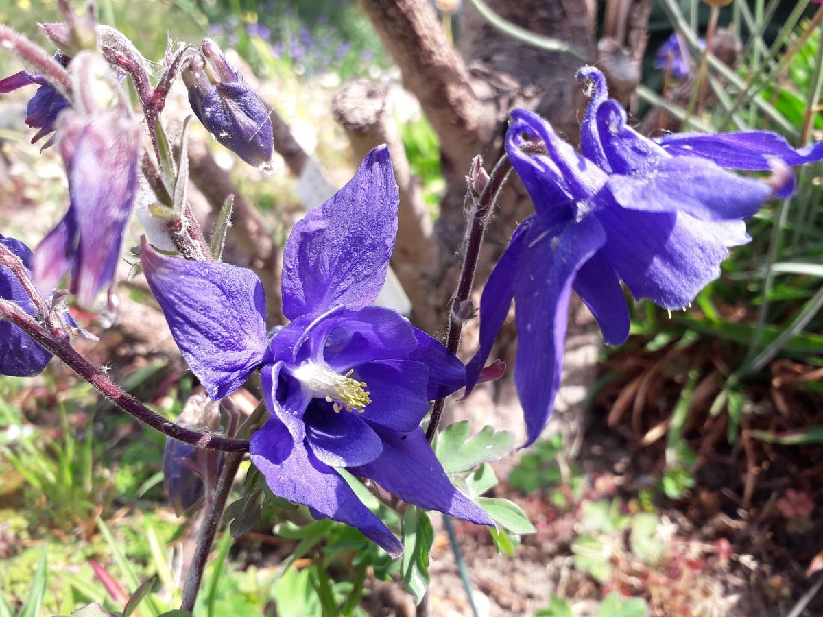 flores de la alquilegia alpina