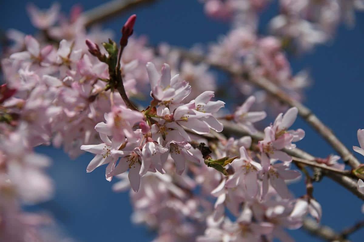 Las flores del Prunus subhirtella 'Pendula Plena Rosea' son de color rosado