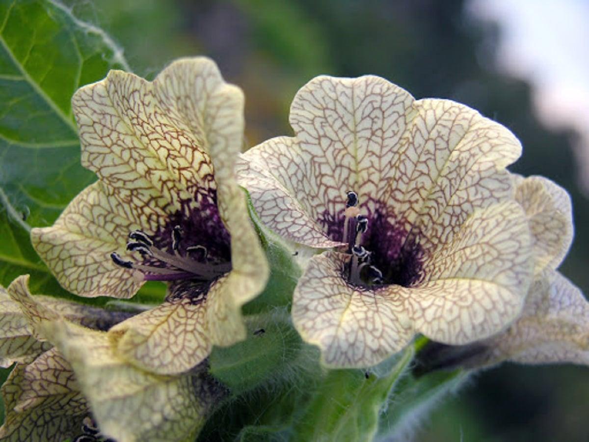 flores del beleño negro