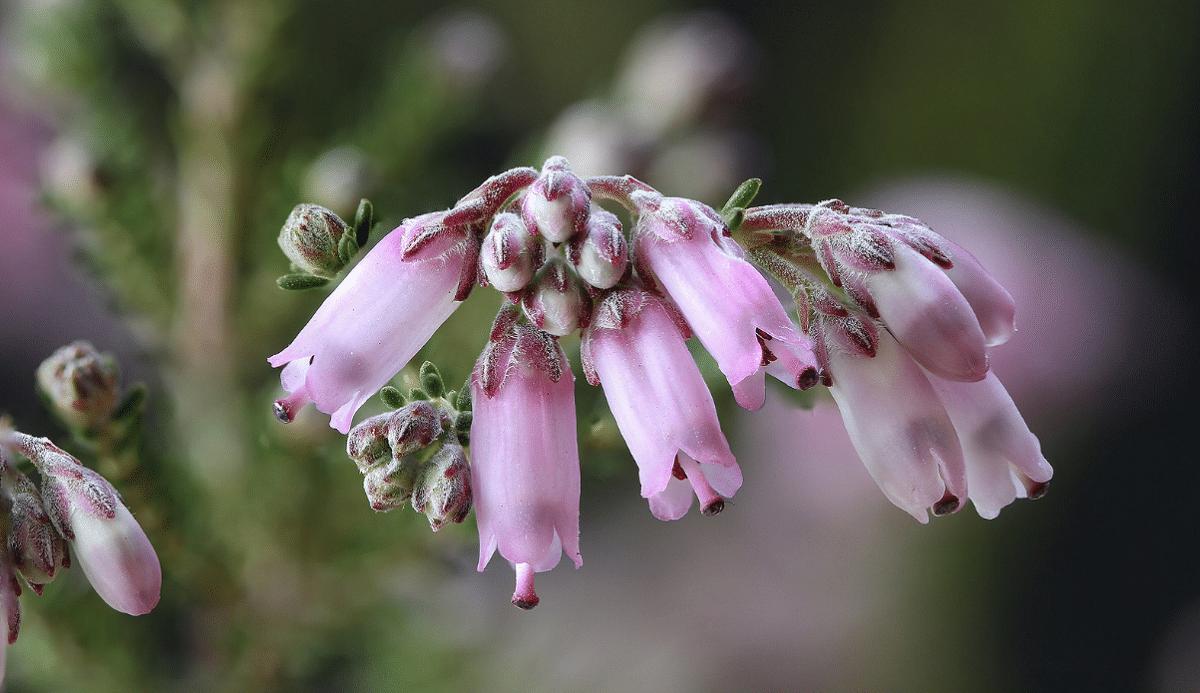 flores rosas como con pelillos